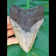 12,1 cm grauer Zahn des Megalodon
