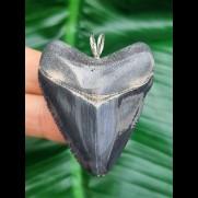 5,0 cm Anhänger des Megalodon aus dem Bone - Valley/Verkauft