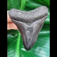 7,9 cm schwarzer Zahn des Megalodon