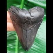 8,0 cm schwarzer Zahn des Megalodon