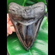 15,6 cm großer beeindruckender Zahn des Megalodon