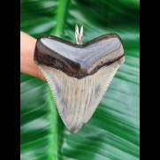 4,7 cm Zahn des Carcharocles Chubutensis als Anhänger