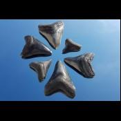 Sold other shark teeth (17)