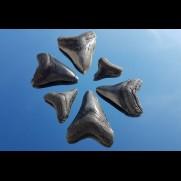 Sold other shark teeth