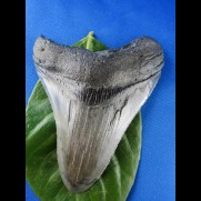 9,5cm sharp sharktooth from megalodon shark
