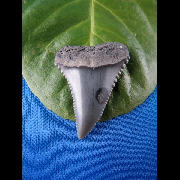 3,8cm nice white shark sharktooth from southafrica