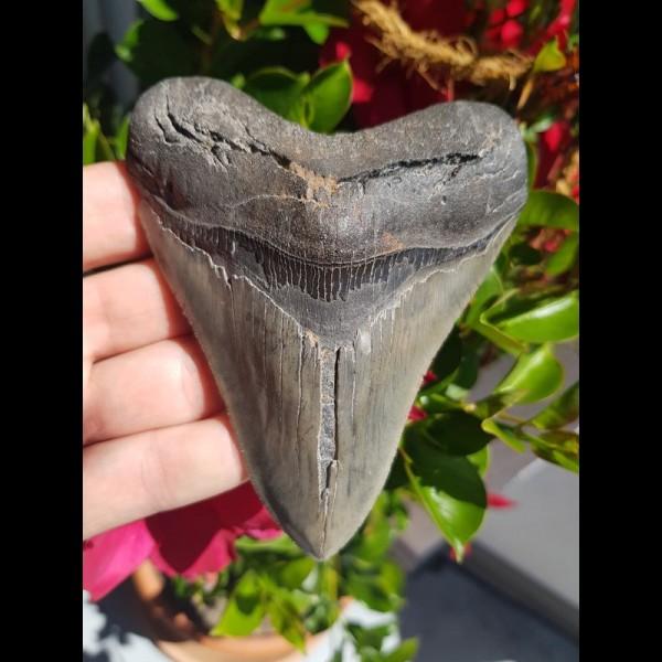 11,3cm scharfer Haizahn des Megalodon Hai