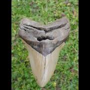 12,7 cm big natürlicher Megalodon tooth