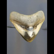 7,8 cm polished shark tooth of Megalodon from USA