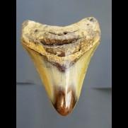 8,4 cm Haizahn des Megalodon aus den USA