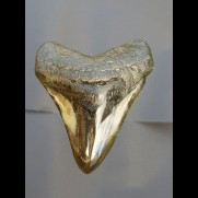 8,6 cm polished shark tooth of Megalodon from USA