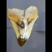 9,4 cm shark tooth of Megalodon from USA