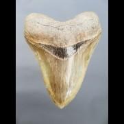 12,1cm very big shark tooth Megalodon top Qualität