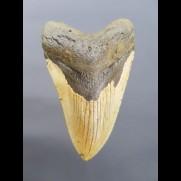 11,1cm großer Haizahn des Megalodon