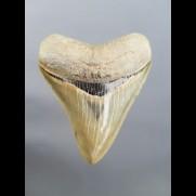 8,1cm Museumsqualität Zahn des Megalodon Hai