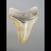 9,7cm top Qualität Haizahn des Megalodon