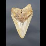 10,3 cm gut erhaltener Haizahn des Megalodon aus den USA