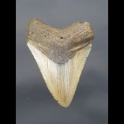 8,7 cm tooth of Megalodon shark