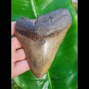 12,7cm good, fossiler shark tooth of Megalodon aus USA