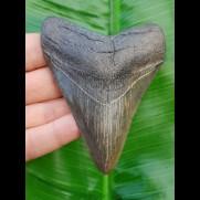 10,0cm fossiler Haizahn des Megalodon aus den USA