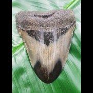 9,6 cm polished shark tooth of Megalodon from USA