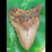 12,5 cm big shark tooth of Megalodon from USA