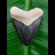4,5 cm großer Zahn des Carcharocles Chubutensis aus dem Bone Valley