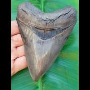 13,5cm Museumsqualität Haizahn des Megalodon