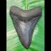 10,9 cm großer, schöner dunkler Zahn des Megalodon