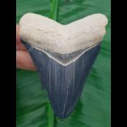 8,3 cm beeindruckender blauer Zahn des Megalodon aus dem Bone Valley