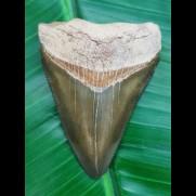 7,1 cm sehr seltener grüner Megalodon - Zahn aus Peru