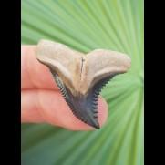 3,4 cm Zahn des Hemipristis serra aus dem Bone Valley