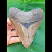 12,5 cm großer beeindruckender Zahn des Megalodon