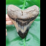 11,6 cm big polished tooth of Megalodon mit interessantem Farbspiel
