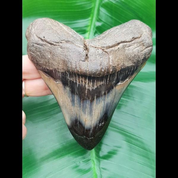 11,6 cm big polished tooth of Megalodon mit interessantem Farbspiel