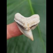 3,2 cm großer heller Zahn des Tigerhai