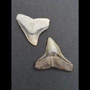 2,5 cm Zahn des Bullenhai und 2,2 cm Zahn des Schwarzhai
