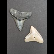 2,5 cm Zahn des Bullenhai  und 2,1 cm Zahn des Schwarzhai