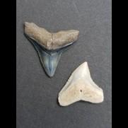 2,5 cm des Bullenhai und 2,0 cm Zahn des Schwarzhai