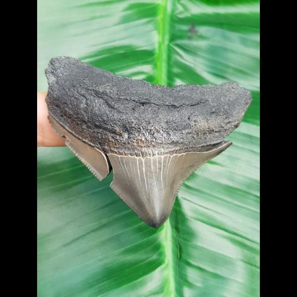 6,5 cm posteriorer Zahn des Megalodon mit Zahnung