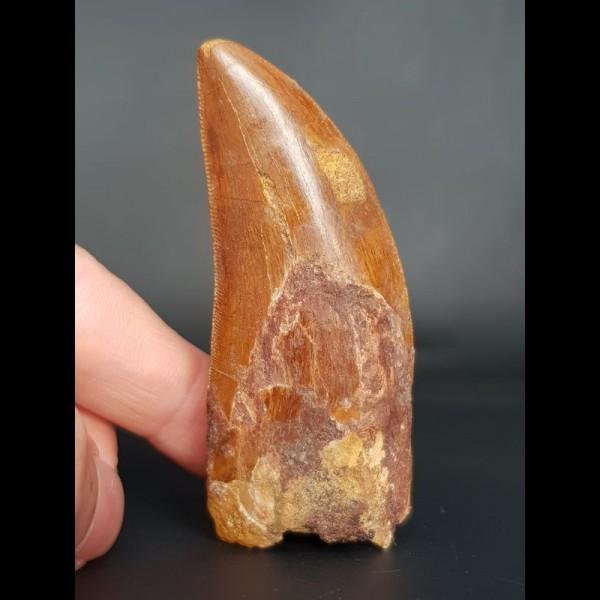 6,9 cm brauner Zahn des Carcharodontosaurus
