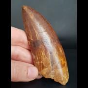 9,9 cm riesiger Zahn des Carcharodontosaurus