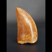 3,4 cm Zahn des Carcharodontosaurus