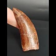 6,4 cm dunkler Zahn des Carcharodontosaurus