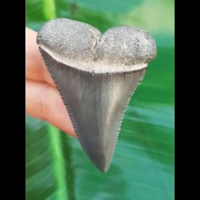 5,1 cm großer kontrastreicher Zahn des Großen Weißen Hai