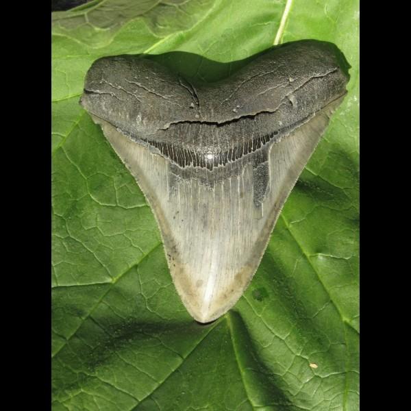 12,1cm scharfer Megalodon Haizahn Hai tolle Form