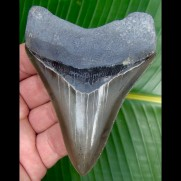 10,1cm rasiermessersharp Megalodon shark tooth