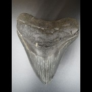 12,5cm Haizahn des Megalodon Hai