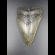 9,5cm Haizahn des Megalodon Hai