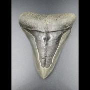 9,4cm Haizahn des Megalodon Hai
